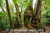 Antarctic Beech Trees Nothofagus moorei Photo - Gary Bell
