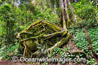 Boulder covered in buttress tree roots photo