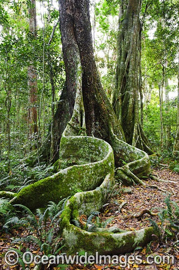 Buttress tree in sub-tropical rainforest. Lamington World Heritage National Park, Queensland, Australia. Photo - Gary Bell