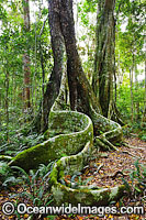 Buttress Trees Lamington National Park Photo - Gary Bell