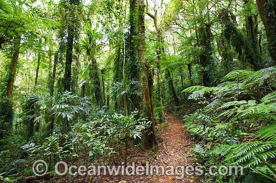 Border Track winding through sub-tropical rainforest. Lamington World Heritage National Park, Queensland, Australia. Photo - Gary Bell