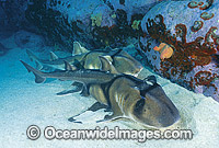 Port Jackson Shark Heterodontus portusjacksoni Photo - Gary Bell