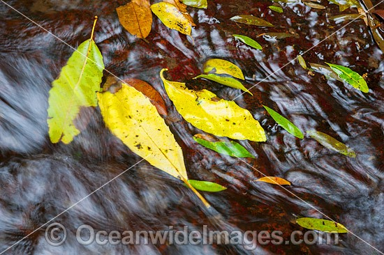 Leaves in a rainforest stream, situated in sub-tropical rainforest. Lamington World Heritage National Park, Queensland, Australia. Photo - Gary Bell