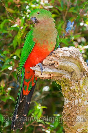 Australian King Parrot (Alisterus scapularis) - female. Found in rainforests, eucalypt forests and palm forests of south-eastern Australia, Australia. Photo - Gary Bell
