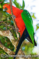 King Parrot Photo - Gary Bell