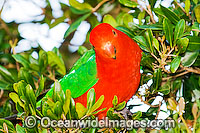 King Parrot Alisterus scapularis Photo - Gary Bell