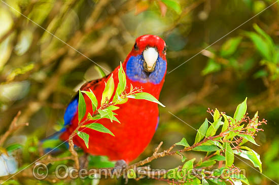 Crimson Rosella (Platycercus elegans elegans). Found in rainforests, wet eucalypt forests and forests near farm lands of the eastern coast and ranges of south-eastern Australia, Australia. Photo - Gary Bell