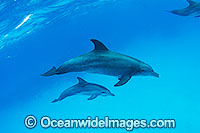 Bottlenose Dolphin pair Photo - Karen Willshaw