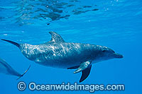 Bottlenose Dolphin Cocos Island Photo - Karen Willshaw