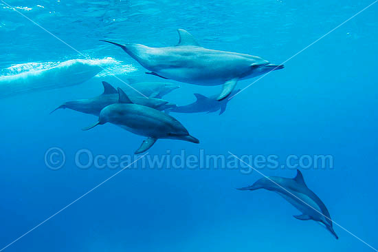 Bottlenose Dolphin (Tursiops truncatus) - pod, and a Spinner Dolphin (Stenella longirostris) swimming freely in the wild with the pod. Cocos (Keeling) Islands, Australia. Found in tropical and sub-tropical oceans throughout the world. Photo - Karen Willshaw