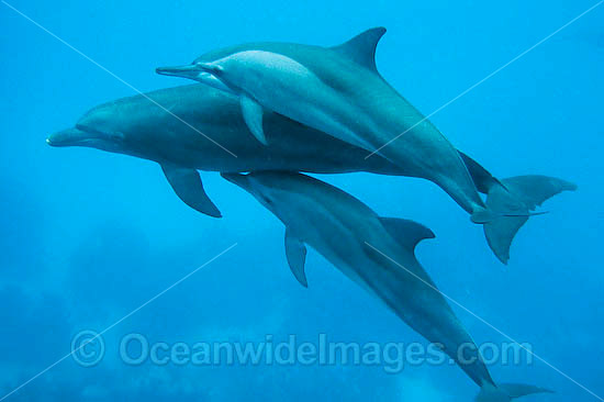 Spinner Dolphin (Stenella longirostris) - a pair swimming naturally in the wild with a single Bottlenose Dolphin (Tursiops truncatus). Cocos (Keeling) Islands, Australia. Found in tropical and sub-tropical oceans throughout the world.