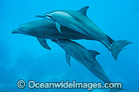 Spinner Dolpins and Bottlenose Dolphin