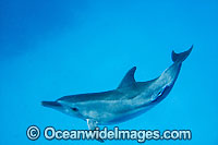 Bottlenose Dolphin Cocos Island photo