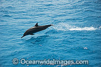 Spinner Dolphin Stenella longirostris photo