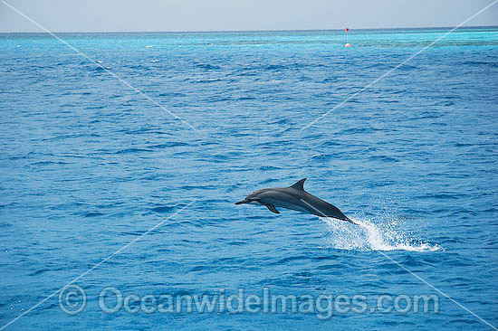 Spinner Dolphin (Stenella longirostris) - leaping out of the water in the wild. Cocos (Keeling) Islands, Australia. Found in tropical and sub-tropical oceans throughout the world.
