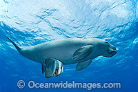 Dugong with Batfish image