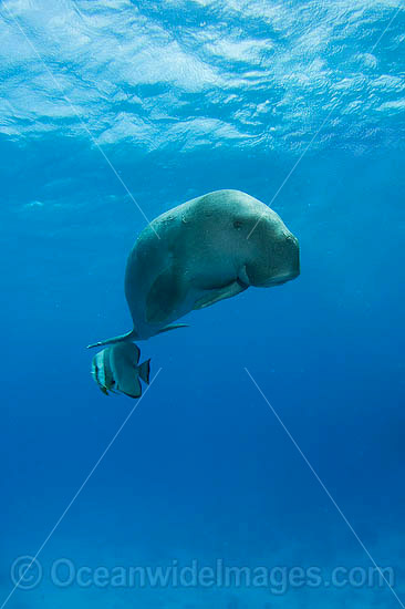 Dugong (Dugong dugon) - swimming with a batfish. Cocos (Keeling) Islands, Australia. Dugongs can be found in warm coastal waters from East Africa to Australia. Also known as Sea Cow. Classified Vulnerable on the IUCN Red List. Now a Protected species.