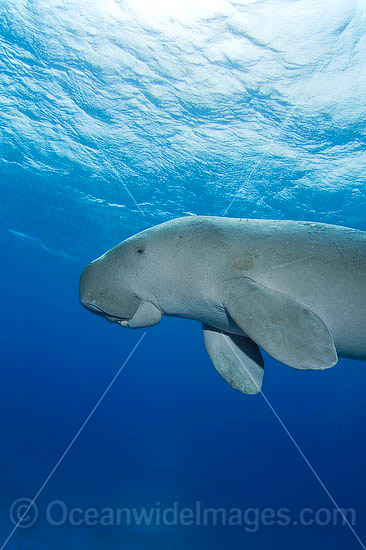 Dugong (Dugong dugon). Cocos (Keeling) Islands, Australia. Dugongs can be found in warm coastal waters from East Africa to Australia. Also known as Sea Cow. Classified Vulnerable on the IUCN Red List. Now a Protected species. Photo - Karen Willshaw