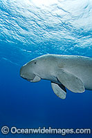 Sea Cow image