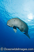 Dugong Photo - Karen Willshaw
