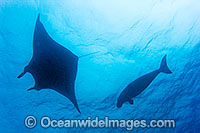Dugong swimming with Manta ray image