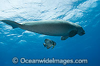 Dugong swimming with Batfish image
