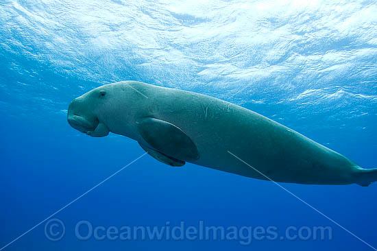 Dugong (Dugong dugon). Cocos (Keeling) Islands, Australia. Dugongs can be found in warm coastal waters from East Africa to Australia. Also known as Sea Cow. Classified Vulnerable on the IUCN Red List. Now a Protected species.