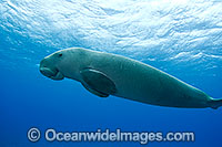 Dugong Dugong dugon photo