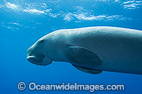 Dugong Cocos Island photo