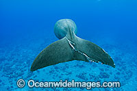 Dugong tail fluke photo