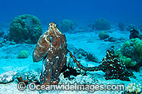 Reef Octopus Octopus cyanea photo