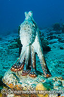 Reef Octopus photo