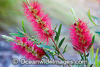 Callistemon Callistemon sp. Photo - Gary Bell