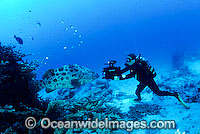Diver photographing Potato Cod Photo - Bob Halstead