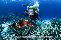 Scuba Diver Broadclub Cuttlefish photo