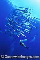 Scuba Diver Chevron Barracuda Photo - Bob Halstead