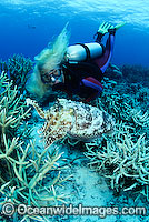Scuba Diver with Broadclub Cuttlefish Photo - Bob Halstead
