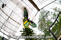 Birdwing Butterfly Ornithoptera priamus Photo - Gary Bell