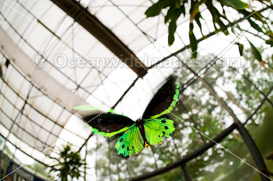 Cairns Birdwing Butterfly (Ornithoptera priamus) - male in flight inside Coffs Harbour Butterly House. Coffs Harbour, New South Wales, Australia Photo - Gary Bell