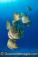 Batfish Platax teira Photo - Karen Willshaw
