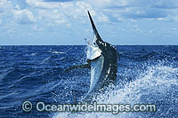 Black Marlin Makaira indica breaching Photo - John Ashley