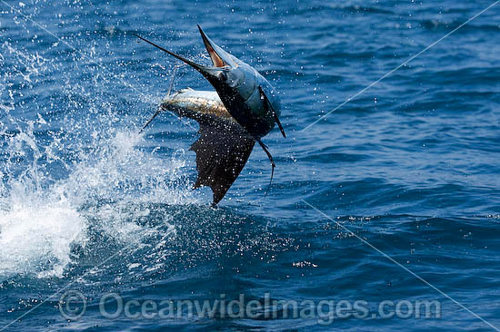 Sailfish (Istiophorus platypterus) - breaching on surface after taking a bait. Also known as Indo-Pacific Sailfish or Billfish. Found throughout the Indo-Pacific