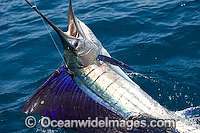 Sailfish breaching Photo - John Ashley