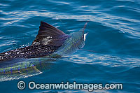 Sailfish Istiophorus platypterus Photo - John Ashley