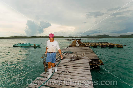 Mr Kazuyoshi Takami, proprietor of Kazu Pearl Farm, attends pearl oyster grids retrieved from beneath floating platforms extending from end and side of farm jetty. Friday Island, Torres Strait, Queensland, Australia