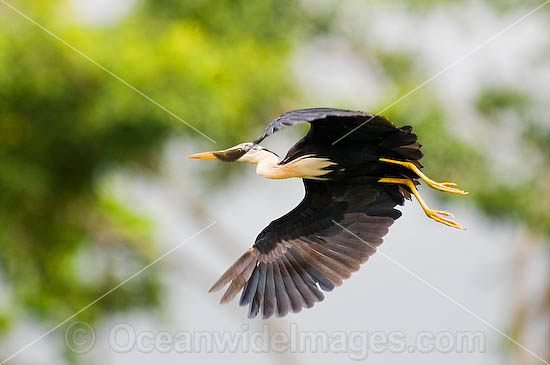 Pied Heron (Ardea picata) - in flight. Boigu Island, Torres Strait. Found in coastal wetlands, tidal and mangrove mudflats, swamps, wet pasture and flood plains of Northern Australia Photo - Gary Bell