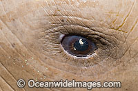 Dugong Dugong dugon eye photo