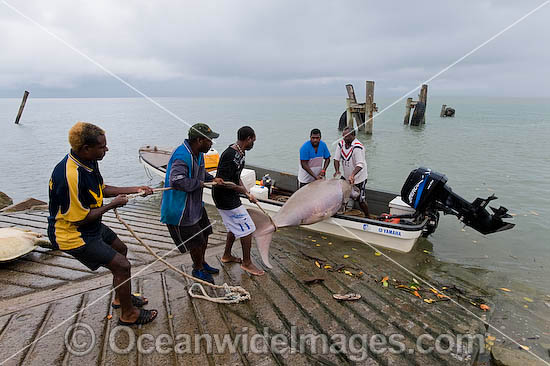 Torres Strait Islanders with a Dugong (Dugong dugon), captured legally under traditional hunting rights, to help feed island community. Torres Strait, Northern Australia