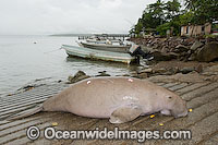 Dugong captured by Islanders image