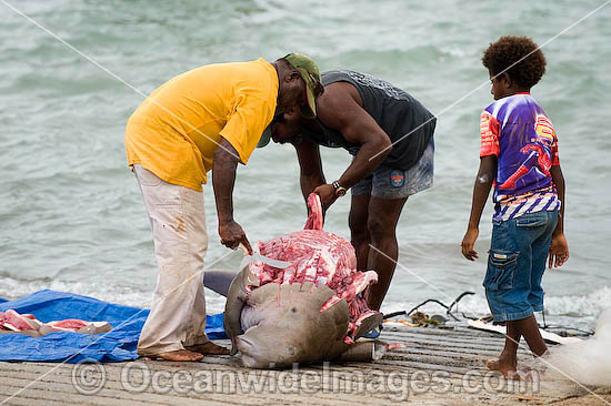 Torres Strait Islanders butcher a Dugong (Dugong dugon), captured legally under traditional hunting rights, to help feed island community. Torres Strait, Northern Australia